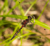 Hudsonian Whiteface Stock Images