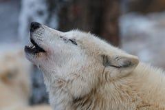 Hudsonicus волчанки волка волка залива завывать Гудзон Стоковое фото RF