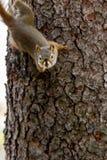 Hudsonicus americano en un árbol, banff del Tamiasciurus de la ardilla roja foto de archivo