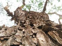 Hudträd av regnträdet Royaltyfria Bilder