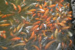 Hue, Vietnam-The Imperial City-swarm of koi fish in a pond on the palace grounds royalty free stock photography