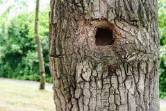 Hueco del árbol Fotografía de archivo libre de regalías