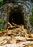 Hueco en el árbol Similar a la cueva Una guarida para los animales Imágenes de archivo libres de regalías