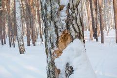 Hueco en un árbol Abedul y hueco del bosque del invierno Un hueco en un abedul Una abertura en el abedul Foto de archivo libre de regalías