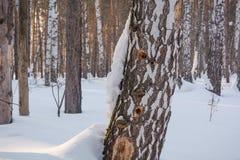 Hueco en un árbol Abedul y hueco del bosque del invierno Un hueco en un abedul Una abertura en el abedul Fotografía de archivo