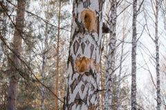 Hueco en un árbol Abedul y hueco del bosque del invierno Un hueco en un abedul Una abertura en el abedul Fotos de archivo