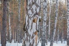 Hueco en un árbol Abedul y hueco del bosque del invierno Un hueco en un abedul Una abertura en el abedul Imagenes de archivo