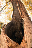 Hueco en un árbol viejo Fotos de archivo libres de regalías