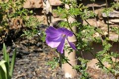 Huegelii d'Alyogyne, ketmie lilas Photo stock