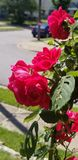 Huela las rosas imagen de archivo