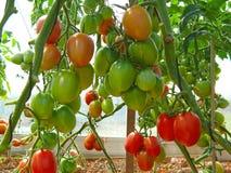 Huelguista-tomate grande del cielo fotografía de archivo libre de regalías