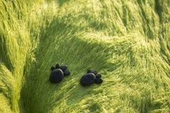 Huella del perrito por los guijarros negros en roca cubierta de musgo verde Fotos de archivo