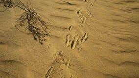 Huellas del canguro en la arena almacen de metraje de vídeo