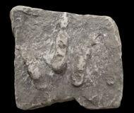 Huellas del dinosaurio fotografía de archivo