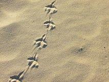 Huellas del pájaro en la arena Foto de archivo