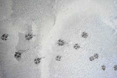 Huellas del perro en textura mojada del piso del cemento foto de archivo libre de regalías
