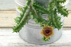 Huernia humilis Haworth. Closeup of Cactus Flower - Huernia humilis Haworth royalty free stock photography