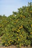 Huerta anaranjada Imagen de archivo libre de regalías