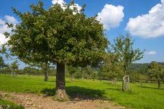 Huerta con los manzanos en un campo Foto de archivo libre de regalías