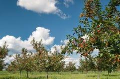Huerta de cereza Foto de archivo libre de regalías