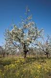 Huerta de cereza amarga floreciente con la mala hierba floreciente Imagenes de archivo