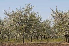 Huerta de cereza amarga floreciente en fila Fotografía de archivo libre de regalías