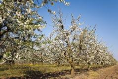 Huerta de cereza amarga floreciente en fila Imagen de archivo libre de regalías