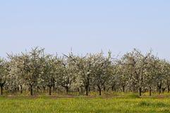 Huerta de cereza amarga floreciente lejos Fotografía de archivo libre de regalías