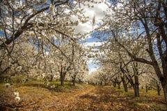 Huerta de cereza floreciente en la primavera Fotos de archivo libres de regalías