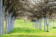 Huerta de cereza floreciente en tiempo de primavera Foto de archivo libre de regalías