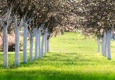 Huerta de cereza floreciente en tiempo de primavera Foto de archivo