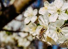 Huerta de cereza y abeja florecientes de la miel Foto de archivo