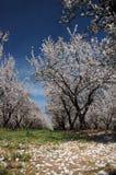 Huerta de la almendra en la floración Fotos de archivo