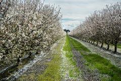 Huerta de la almendra en la floración temprana Foto de archivo libre de regalías