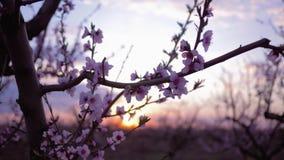 Huerta de la primavera, flores rosadas blandas hermosas en el primer del albaricoquero de la fruta en el jardín en puesta del sol almacen de video