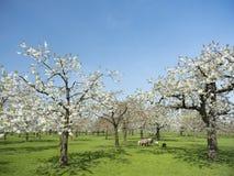 Huerta de la primavera de las ovejas y de la flor de cerezo debajo del cielo azul en los Países Bajos Imagen de archivo