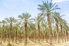 Huerta de las palmas de los higos de la fecha en el desierto de Oriente Medio Fotografía de archivo libre de regalías