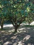 Huerta de los árboles frutales Foto de archivo libre de regalías