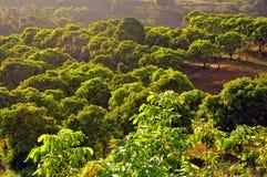 Huerta del mango Foto de archivo libre de regalías