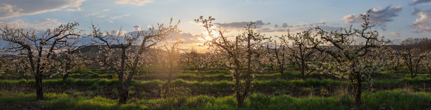 Huerta en el amanecer Fotos de archivo