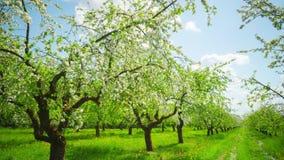 Huerta floreciente de Apple, time lapse panorámico almacen de metraje de vídeo