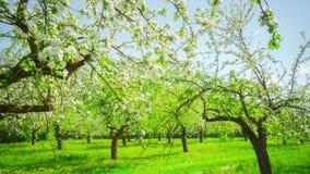 Huerta floreciente de Apple, time lapse panorámico almacen de video