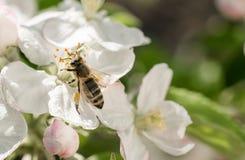 Huerta floreciente de la primavera Abeja floreciente de la manzana y de la miel Imagenes de archivo