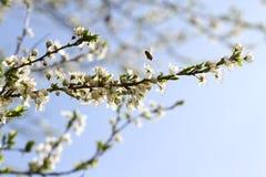 Huerta floreciente en la primavera Árbol floreciente de la huerta del ciruelo con una abeja Fondo del resorte Huerta de la primav Fotos de archivo libres de regalías