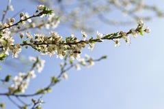 Huerta floreciente en la primavera Árbol floreciente de la huerta del ciruelo con una abeja Fondo del resorte Huerta de la primav Fotos de archivo