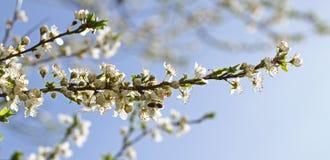 Huerta floreciente en la primavera Árbol floreciente de la huerta del ciruelo con una abeja Fondo del resorte Huerta de la primav Imágenes de archivo libres de regalías