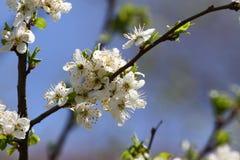 Huerta floreciente en la primavera Árbol floreciente de la huerta del ciruelo en un fondo del cielo azul Fondo del resorte Huerta Imagen de archivo