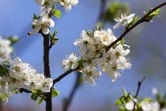 Huerta floreciente en la primavera Árbol floreciente de la huerta del ciruelo en un fondo del cielo azul Fondo del resorte Huerta Foto de archivo