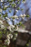 Huerta floreciente en la primavera Árbol floreciente de la huerta del ciruelo en un fondo del cielo azul Fondo del resorte Huerta Foto de archivo libre de regalías