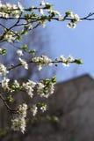Huerta floreciente en la primavera Árbol floreciente de la huerta del ciruelo en un fondo del cielo azul Fondo del resorte Huerta Imágenes de archivo libres de regalías